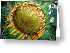 Giant Sunflower Drama Greeting Card