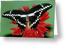 Giant Swallowtail Butterfly Greeting Card