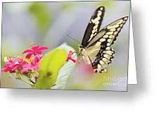 Giant Swallowtail II Greeting Card