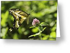 Giant Swallowtail On Clover 2 Greeting Card