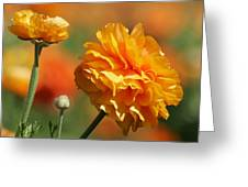 Giant Tecolote Ranunculus - Carlsbad Flower Fields Ca Greeting Card