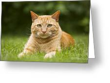 Ginger Cat In Garden Greeting Card