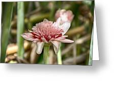 Ginger Plant Flower Greeting Card