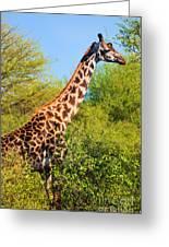 Giraffe Among Trees. Safari In Serengeti. Tanzania Greeting Card