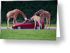 Giraffe. Animal Studies Greeting Card