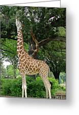 Giraffe Eats-09053 Greeting Card