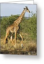 Giraffe From Tanzania Greeting Card