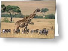 Giraffe Giraffa Camelopardalis Greeting Card