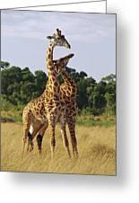 Giraffe Males Sparring Masai Mara Kenya Greeting Card