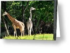 Giraffes  Greeting Card