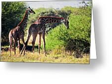 Giraffes On Savanna Eating. Safari In Serengeti Greeting Card