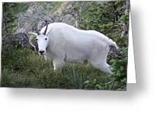 Glacier Goat Greeting Card by Carolyn Ardolino