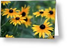 Glorious Garden Of Black Eyed Susans Greeting Card