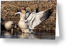 Glorious Snow Goose Greeting Card