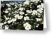 Glorious White Roses Db Greeting Card