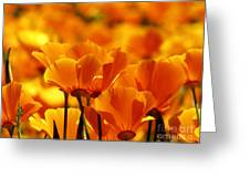 Glory Of Poppies Greeting Card