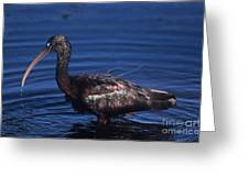Glossy Ibis Greeting Card
