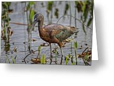 Glossy Ibis Greeting Card