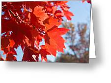 Glowing Fall Maple Colors 4 Greeting Card