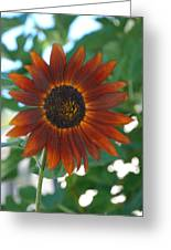 Glowing Red Sunflower Greeting Card