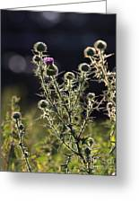 Glowing Thistle - 1 Greeting Card