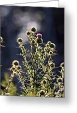 Glowing Thistle - 3 Greeting Card