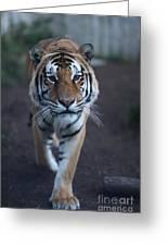 Go Get 'em Tiger Greeting Card by Brenda Schwartz