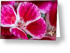 Godetia Pink And White Flower Greeting Card