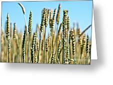 Gold Harvest Blue Sky Greeting Card