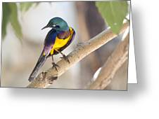 Golden-breasted Starling Greeting Card