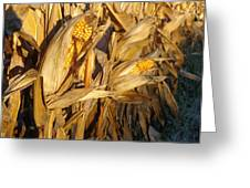 Golden Corn Greeting Card