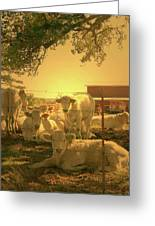 Golden Cows Greeting Card