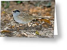 Golden-crowned Sparrow Greeting Card