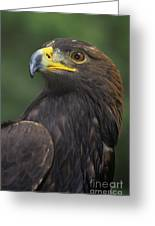 Golden Eagle Portrait Threatened Species Wildlife Rescue Greeting Card