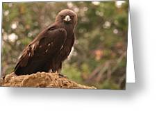 Golden Eagle Greeting Card by Roger Snyder