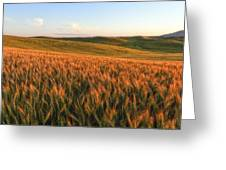 Golden Grains Of Wheat Greeting Card
