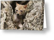 Golden Jackal Canis Aureus Cubs 2 Greeting Card