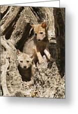 Golden Jackal Canis Aureus Cubs Greeting Card