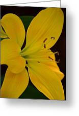 Golden Lily Glow Greeting Card