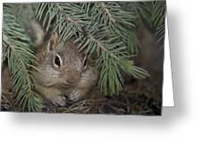 Golden Mantled Ground Squirrel    Callospermophilus Lateralis Greeting Card