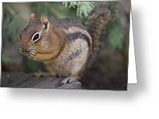 Golden Mantled Squirrel  Callospermophilus Lateralis Greeting Card