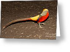 Golden Pheasant Male Greeting Card