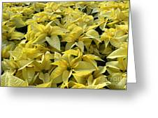 Golden Poinsettias Greeting Card