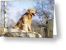 Golden Retriever Dog On Logs Greeting Card