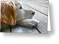 Golden Retriever Dog Waiting Greeting Card