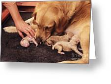 Golden Retriever Dog Whelping Greeting Card