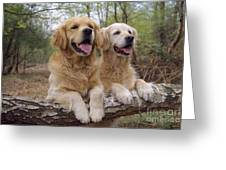 Golden Retriever Dogs Greeting Card
