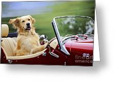 Golden Retriever In Car Greeting Card