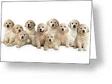 Golden Retriever Puppies, In A Line Greeting Card