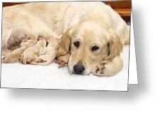 Golden Retriever Puppies Suckling Greeting Card